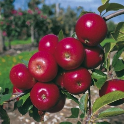 Minarette® Apple (Late) 'Red Devil'