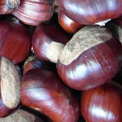 Sweet Chestnut 'Regal'