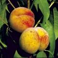 Peach 'Rochester'