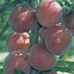 Cherry Plum 'Ruby'