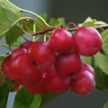 Self-fertile Crab Apple Trees