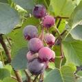Saskatoon (Juneberry) 'Smoky'