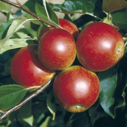 Apple Tree 'Scrumptious'* (Mid)