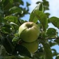 Cider Apple 'Slack ma Girdle' (Late)