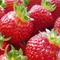 King Sized Pot Grown Strawberry 'Albion' - Pack of 6 (Perpetual)