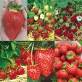 All Season Strawberry Collection (12 plug plants, 2 each of 6 varieties)