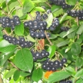 10% Off Aronia Berries