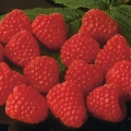 Raspberry 'Autumn Bliss'* (pack of 5 canes)