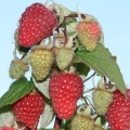 Raspberry 'Autumn Treasure'* (pack of 6 canes)