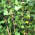 Blackcurrant 'Ben Gairn' (Pot Grown)