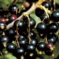 10% Off Blackcurrants & Jostaberry