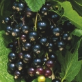 Blackcurrants and Jostaberry