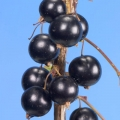 Blackcurrant 'Big Ben' (Pot Grown)