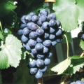 Grape 'Black Hamburgh'