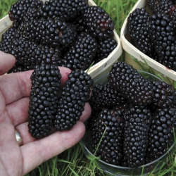 Blackberry 'Black Butte'