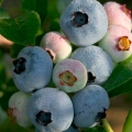 Blueberry 'Chandler'