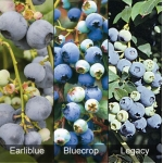 All Season Blueberry Collection