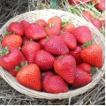 King Sized Pot Grown Strawberry 'Buddy'* - Pack of 6 (Perpetual)