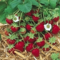 King Sized Pot Grown Strawberry 'Cambridge Favourite' - Pack of 6 (Mid Summer)