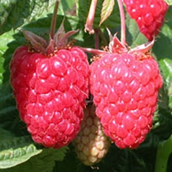 Raspberry 'Cascade Delight' (pack of 6 canes)