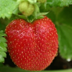 Strawberry 'Chelsea Pensioner' - Pack of 12 (Late summer)