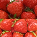 Strawberry Collection D - (12 plants - 6 each of Christine (Early) & Fenella (Late))