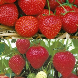 Strawberry Collection E- (12 plants - 6 each of Elsanta (Mid) & Florence (Late)