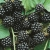 Blackberry 'Fantasia'*