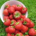 King Sized Pot Grown Strawberry 'Finesse'* - Pack of 6 (Perpetual)