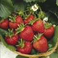 Strawberry 'Flamenco'* - Pack of 12 (Perpetual)