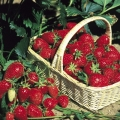 Strawberry 'Gariguette' - Pack of 12 Plug Plants (Early)