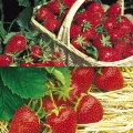 Strawberry Collection B- (12 plants - 6 each of Gariguette (early) & Hapil (mid))