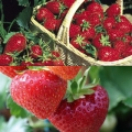 Strawberry Collection A- (12 plants - 6 each of Gariguette (early) & Sonata (mid)