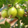 Gooseberry 'Hinnonmaki Green' (Pot Grown)
