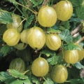 Gooseberry 'Hinnonmaki Yellow' (Pot Grown)