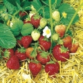 King Sized Pot Grown Strawberry 'Honeoye' - Pack of 6 (Early)