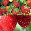 Strawberry Collection B - (12 plants-Honeoye (Early) & 6 Korona (Mid))