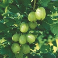 Gooseberry 'Invicta'* (Pot Grown)