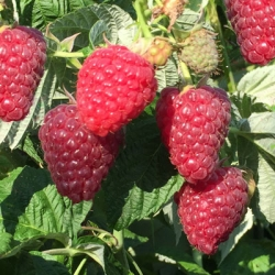 Raspberry 'Joan J'* (pack of 6 canes)