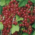 Redcurrant 'Junifer' (Pot Grown)