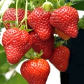 Strawberry 'Ken Muir' Pack of 12 (Mid Summer)