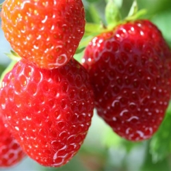 King Sized Pot Grown Strawberry 'Korona'* - Pack of 6 (Mid Summer)