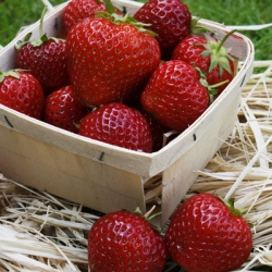 Strawberry 'Lucy'* Pack of 12 (Mid/Late Summer)