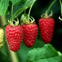 Raspberry 'Malling Minerva*' (pack of 6 canes)
