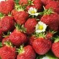Strawberry 'Manille'* - Pack of 12 (Mid-Summer)