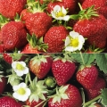 Strawberry Collection C - (12 plants-6 each of Manille (Mid) & Mara des Bois (Perpetual)