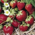 King Sized Pot Grown Strawberry 'Mara des Bois'* - Pack of 6 (Perpetual)