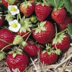 strawberry 39 mara des bois 39 pack of 12 perpetual. Black Bedroom Furniture Sets. Home Design Ideas