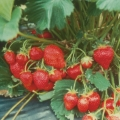 Strawberry '*Marshmello' - Pack of 12 (Mid Summer)