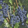 Outdoor Grapes
